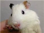 豚鼠耳朵不需要经常清理