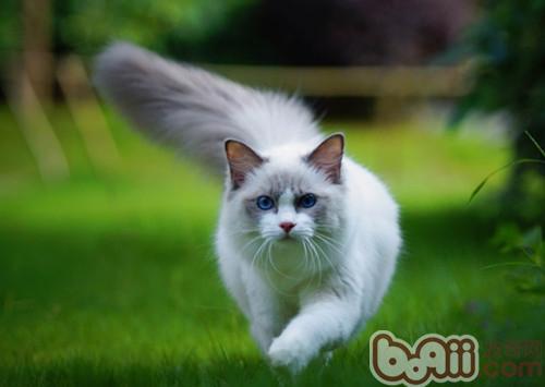 布偶猫的产后护理