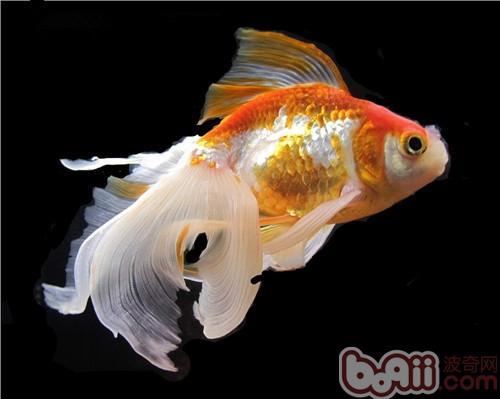 北京斑马鱼这是啥海星刚从缸里爬出来还特别小 北京观赏鱼 北京龙鱼第4张