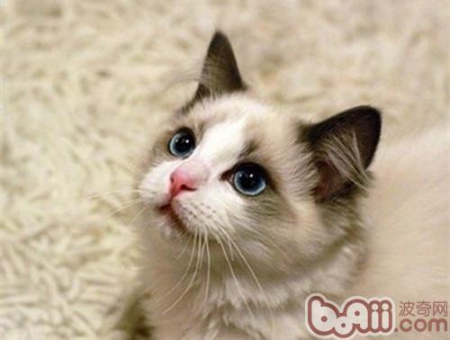 什么原因导致布偶猫价格如此高