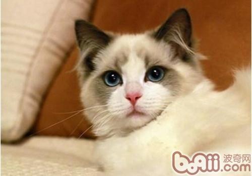 训练布偶猫容易吗
