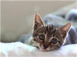 猫奴需注意猫咪排尿状态