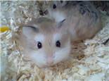 怀孕仓鼠的环境准备