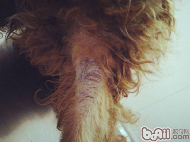 犬常见皮肤病(五)马拉色菌皮炎