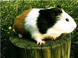 为什么有的荷兰猪眼睛是红色的