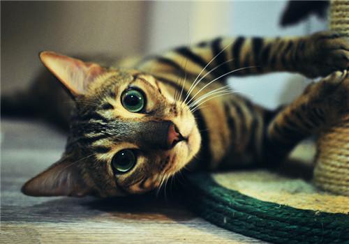 孟加拉猫的形态特征