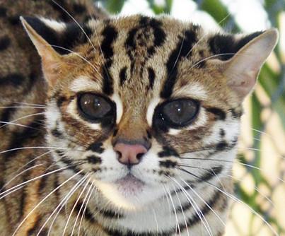 豹猫与孟加拉猫的区别