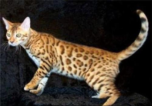 加州闪亮猫形态特征