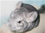 龙猫流口水是什么原因