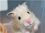 仓鼠也需要均衡营养的饲料