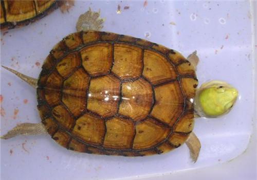 黄喉拟水龟苗的饲养_黄喉拟水龟需要的饲养环境|爬虫环境-波奇网百科大全