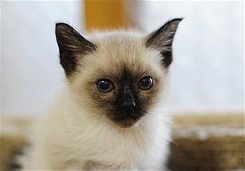 猫咪鼻子和耳部要擦洗