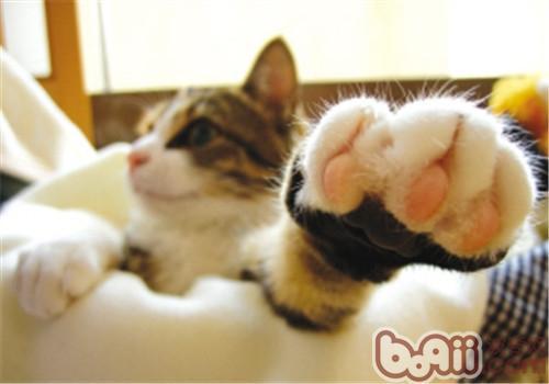 猫咪的脚掌该如何护理?