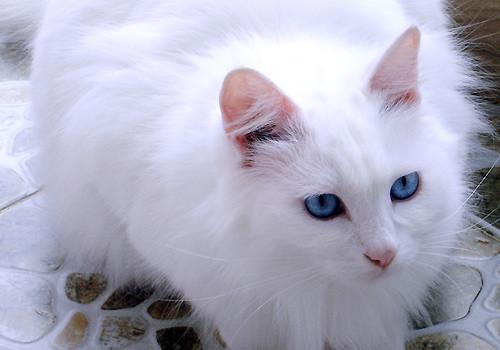 山东狮子猫的领养途径有哪些