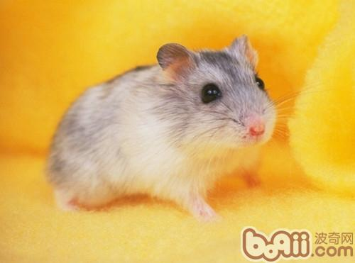仓鼠饲养常用的基本耗材