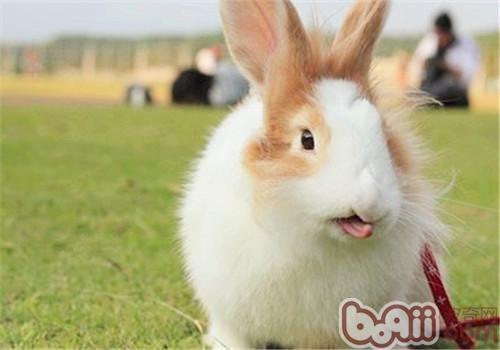 训练宠物兔上厕所应从小开始