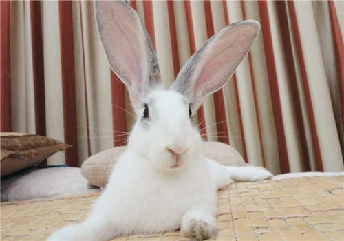 宠物兔耳朵的护理方法