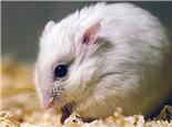 为什么仓鼠也会吃便便