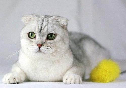折耳猫价格为什么那么高