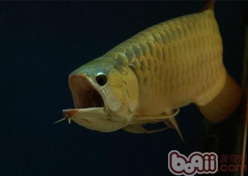 鱼剪拉花的步骤图图片
