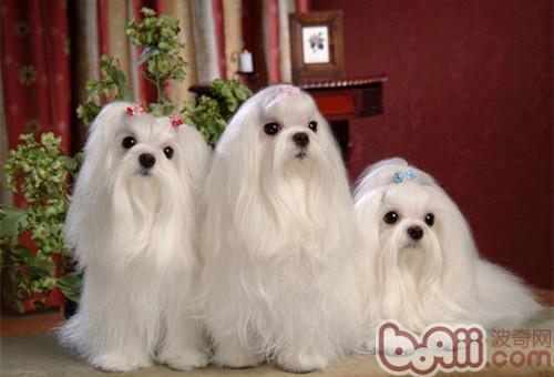 几种不易掉毛的小型犬 狗狗养护