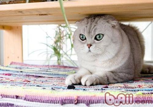 折耳猫领养的注意事项