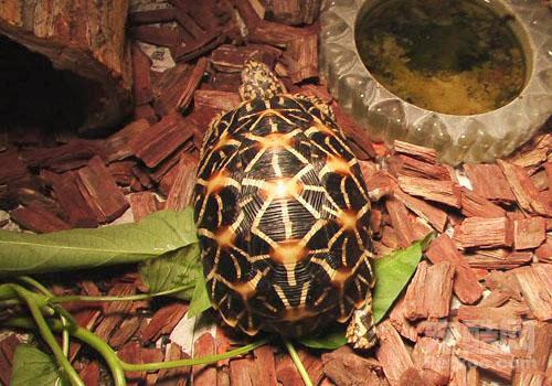 鳞甲金字塔状印度星龟