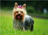 约克夏犬的颜色介绍
