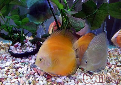 壁纸 动物 水果 鱼 鱼类 植物 500_353