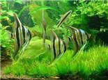 七彩神仙鱼的用药原则