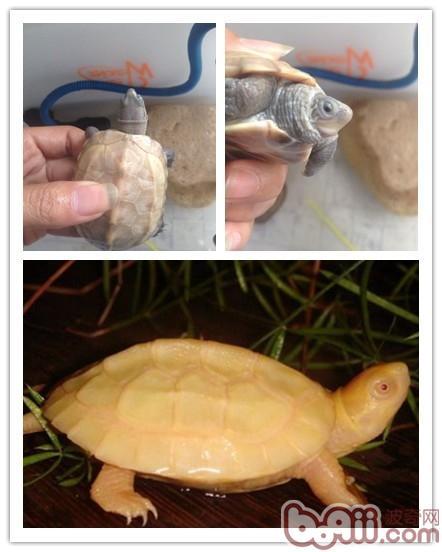 温室草龟和野生草龟以及外塘草龟介绍(上)