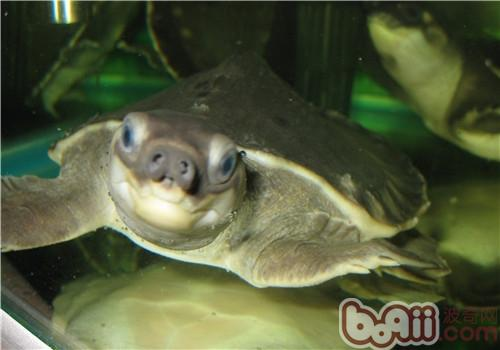 猪鼻龟饲养之提高层次版