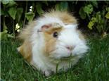 荷兰猪各成长阶段的体重参考