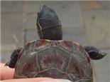 溫室草龜和野生草龜以及外塘草龜介紹(上)
