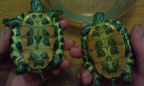 龟的雌雄鉴别方法