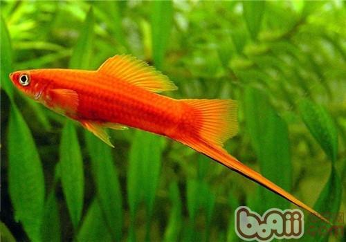 红箭鱼如何分公母图片