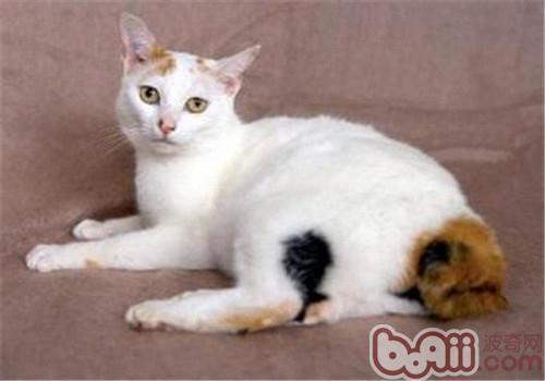 日本短尾猫训练方法