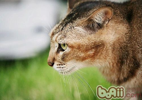 阿比西尼亚猫是什么