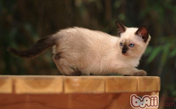 暹罗猫(详情介绍)   很多主人都很想知道自己的猫咪或狗狗究竟多少岁了,有很多主人是很乐于给家里的宠物过生日的,但是苦于无法辨别出他们的真实年龄。如今除了自家繁殖的,很少有主人能够知道自己的猫咪究竟几岁,就让小编教你如何蓝判断暹罗猫的年龄。   小猫猫出生第3个星期开始张乳牙,第5个星期乳牙会全部长齐。当小猫猫出生1年的时候,门牙会开始磨损了,慢慢的经过5年时间,大的牙齿会渐渐老化。到第7年的时候,下面的门牙会磨成圆形,等到第10年的时候,上门牙就会脱落没有了,头背部也会长出白毛,并且粗糙失去光泽。这就