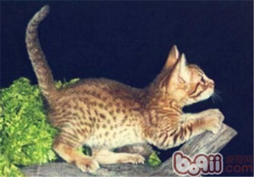 如何帮助奥西猫修理毛发
