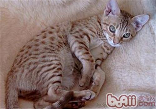 奥西猫如何起名?