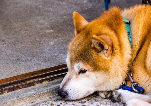 可爱宠物狗品种大全-页22-波奇网百科大全