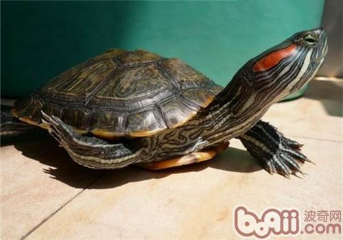 龟冬眠后的注意事项