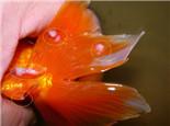 观赏鱼水霉病和肤霉病的区别