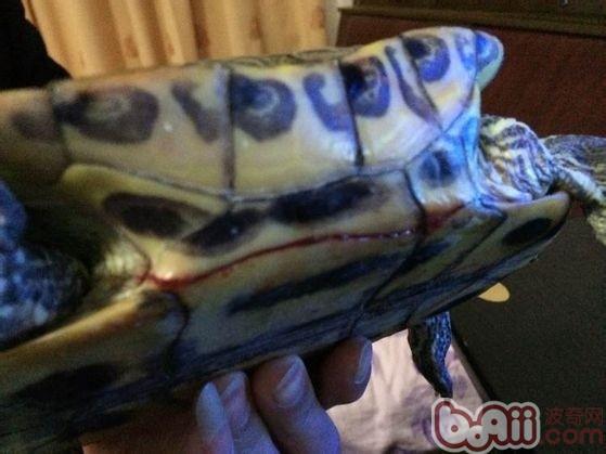 龟甲裂口较大-宠物龟摔伤的家庭处理方法图片