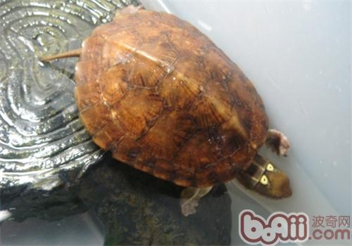 龟鳖烂皮病的防治方法|宠物龟疾病