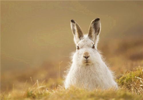 如何辨别野兔的真伪