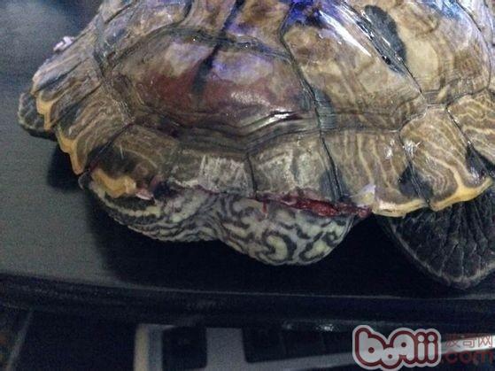 乌龟病症大全图解