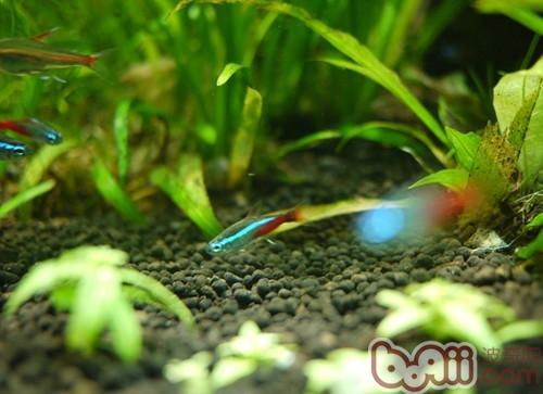壁纸 动物 水草 水生植物 鱼 鱼类 500_363
