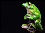 中华大泛树蛙的饲养介绍